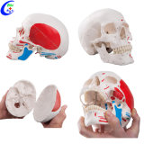 Medical Human Anatomy Colored Skull Model