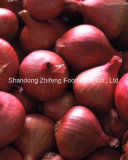 Fresh Red Onion with Good Quality