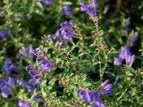 Scutellaria Baicalensis Extract for Food and Supplements