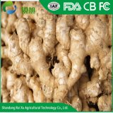 Chinese Fresh New Ginger with Reasonable Price
