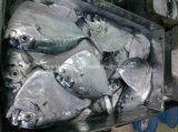 Hot Sale Frozen Moon Fish