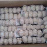 Wholesale Fresh Garlic