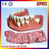 China Supplier Dental Product Plastic Model Teeth for Sale