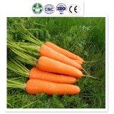 2017 Chinese Fresh Carrots (Shandong, Hebei/Mogolia, Xiamen) Farm in 2017