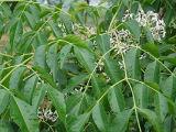 Toosendanin Melia Azedarach Extract/White Cedar Extractract/Chinaberry Extract