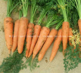 New Crop Chinese Vegetable Red Orange Yellow Fresh Carrot