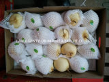 Factory Price Fresh Ya Pear for Import