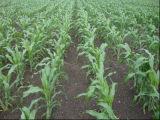 Sweet Sorghum Seeds Viejin5563
