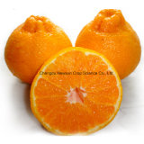 Fresh Happiness Dekopon Mandarin Orange for Export