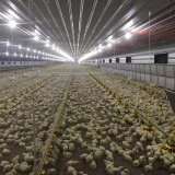 Automatic Broiler Farming System Poultry Farm Equipment for Chicken