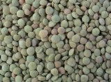 Low Price Wholesale Fresh Crop Selected Best Quality Green Lentils