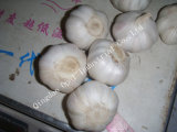 Wholesale Market Chinese Fresh Vegetable Pure Normal White Garlic