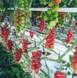 High Quality Agricultural Horticulture Venlo Glass Greenhouse for Hydroponic Growing System Tomato Vegetables Gardenfarm Green House