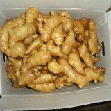 Fresh Ginger at Wholesale Price