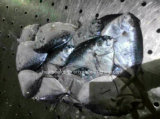 Frozen Moon Fish Mene Maculata