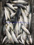 2019 New Landing Horse Mackerel Land Bqf Trawling