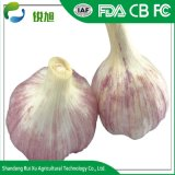 Wholesale Cheapest Price Garlic for Export China Manufacturer
