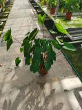 Real Plant Indoor Plants Colocasia Hawaii Punch