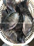 Sourcing Alive Frozen Oceanblossoms Tilapia Fish From China Factory