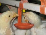 Poultry Drinking and Feeding System for Chicken/Broilers Raising