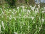 Extracto astringente de la hierba de sofá de la alta calidad/Arundoin, 20:1 del 10:1