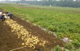 2016 nouvelle récolte de pommes de terre fraîches