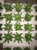 Piante e fiori artificiali della pianta succulente Gu-Jys-00030