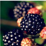 검은 딸기 분말 검은 딸기 Jucie 분말의 제조자