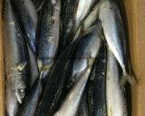 Chinese Bevroren Vreedzame Makreel met de Beste Prijs van de Fabriek van de Makreel