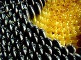 Prix favorable de l'organique les graines de tournesol
