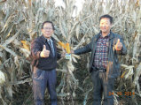 Unigrowの生物有機肥料を持つトウモロコシを植えること