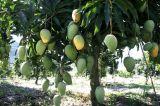 Estratto CAS no. 4773-96-0 del mango del rifornimento di Mangiferin 90-98%Factory