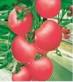 Semi 008 del pomodoro