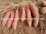 Lieferanten-frische süsse Kartoffel im Ineinander greifen-Beutel und dem Karton