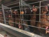 販売のためのいろいろな種類の鶏のケージそして卵のコレクションライン