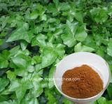 Poudre d'extrait de lame de LIERRE/extrait hydrosolubles de centrale, 2% 10% Hederacosid C
