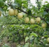 Hot Vente de fruits savoureux chinois Golden Crown pear/Ya poire