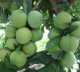 Ameixa Slimming verde erval para a perda de peso