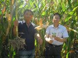 Plantando o milho com bio fertilizante orgânico de Unigrow