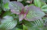 Extracto roxo Perilla Perillen e Perilla Aldehyde