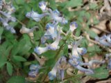 Rhizoma Extracto Corydalis