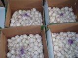 Свежий чистый белый чеснок из Китая