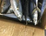 Poissons Pacifique de maquereau congelés par poissons d'amorce