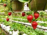 [أونيغروو] [أرغنيك فرتيليسر] [ميكروبيل] على توت أرض يزرع