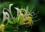 [فكتوري بريس] عسل [سوك] زهرات مقتطف يرضع مقتطف/عسل مقتطف