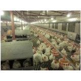 [بوولتري فرم] دجاجة آليّة يضع عشب لأنّ عمليّة بيع
