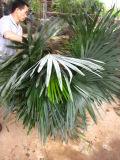 Trachycarpus Fortunei Cold Hardy Palm