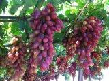 De Meststof van de Grond van Unigrow op Om het even welk Gewas, Fruit, het Plantaardige Planten