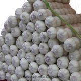 신선한 녹색 마늘