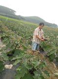 Promotor de crescimento da planta de Unigrow na plantação da alface da beringela, do tomate, do pepino e de Romaine